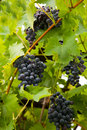 Bunches of black or dark purple grapes fresh hanging on the vine amongst green leaves waiting to be harvested Stock Image