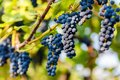 Bunches of black grapes hanging on a vine during the day sun Royalty Free Stock Photo