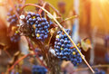 Bunches of blue grapes Royalty Free Stock Photo