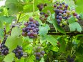 Bunches of colorful, red and green grapes Royalty Free Stock Photo