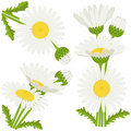 Bunches of daisies Stock Photos