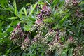 Bunches of elderberry Royalty Free Stock Photo