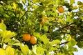 stock image of  Bunches of fresh yellow ripe lemons on lemon tree