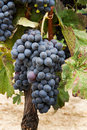 Bunches of grapes. Royalty Free Stock Photo