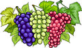 Bunches of grapes cartoon illustration three white and red and black or blue or grapevine fruit food design Royalty Free Stock Photos