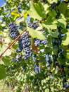 Bunches of grapes hanging in vineyard ripe Stock Images