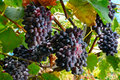 Bunches of grapes on the vine Royalty Free Stock Photo