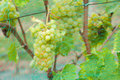 Bunches of grapes on the vines white Stock Photos