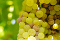 Bunches of green grapes, in ambient light. Stock Photos