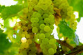 Bunches of green grapes, in ambient light. Royalty Free Stock Photo