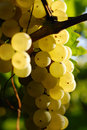 Bunches of green grapes, in ambient light. Royalty Free Stock Image