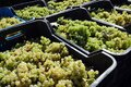 Bunches of green grapes on the blue tray of the agricultural market Royalty Free Stock Photo