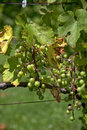 Bunches of green grapes Royalty Free Stock Photo