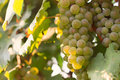 Bunches of green wine grapes growing in vineyard. Close up view of fresh green wine grape. Bunches of green wine grapes hanging on Royalty Free Stock Photo