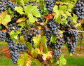 Bunches of merlot grapes ripe blue on vine Stock Image