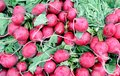 Bunches of organic radish Royalty Free Stock Images