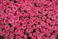 Lazos de rosa rosa