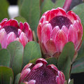 Bunches of proteas close up Stock Photography