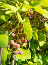Bunches red grapes