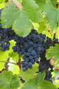 Bunches of red grapes on the vine Royalty Free Stock Photos