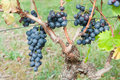 Bunches of red grapes on the vines ready to be harvested Stock Photo