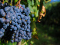 Bunches of red wine grapes Royalty Free Stock Photo