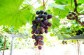 Bunches of red wine grapes hang from a vine Royalty Free Stock Photo