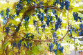 Bunches of red wine grapes hanging on a vine in a vineyard Royalty Free Stock Photo