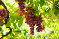Bunches of red wine grapes hanging on the wine in late afternoon sun. Royalty Free Stock Photo