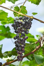 Bunches of ripe grapes hanging in vineyard Stock Photos