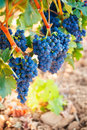 Bunches of ripe grapes Royalty Free Stock Photo