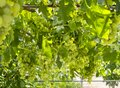 Bunches of white grapes ripen under the gentle summer  sun on the Greek island of Evia Royalty Free Stock Photo