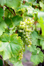 Bunches of white grapes Royalty Free Stock Photo