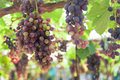 Bunches of wine grapes hanging on the vine with green leaves Royalty Free Stock Photo
