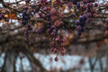 Bunches of withered grapes isabella on the vines Royalty Free Stock Image