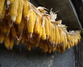 Bundle from corn ears on a house wall closeup Stock Photos