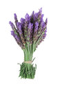 Bundle of lavender Royalty Free Stock Photo