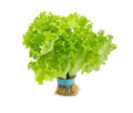 Bundle lettuce with roots grown hydroponically on a light backgr Royalty Free Stock Photo