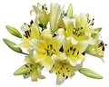 A bundle of lily yellow isolated on white Royalty Free Stock Photography