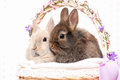 Bunnies in a basket Royalty Free Stock Images