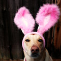 Bunny Dog Royalty Free Stock Image