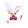 Bunny ears dog Royalty Free Stock Photo