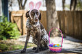 Bunny ears dog a wearing with a basket of easter eggs Royalty Free Stock Image