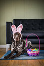 Bunny ears dog a wearing and sitting next to a basket of easter eggs Stock Photo