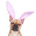 Bunny easter ears dog Royalty Free Stock Photo