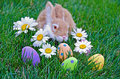 Bunny with easter eggs daisies and polka dot in grass Royalty Free Stock Image