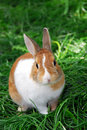 Bunny rabbit Royalty Free Stock Image
