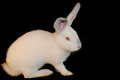 Bunny white isolated on black background Royalty Free Stock Image