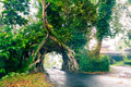 Bunut Bolong, Great huge tropical nature live green Ficus tree with tunnel arch of interwoven tree roots at the base for road