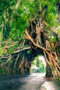Bunut Bolong, Great huge tropical nature live green Ficus tree with tunnel arch of interwoven tree roots at the base for walking p